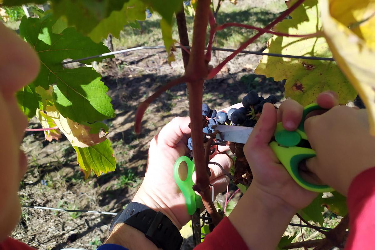 primo piano di forbici da bimbo che tagliano il raspo dell'uva