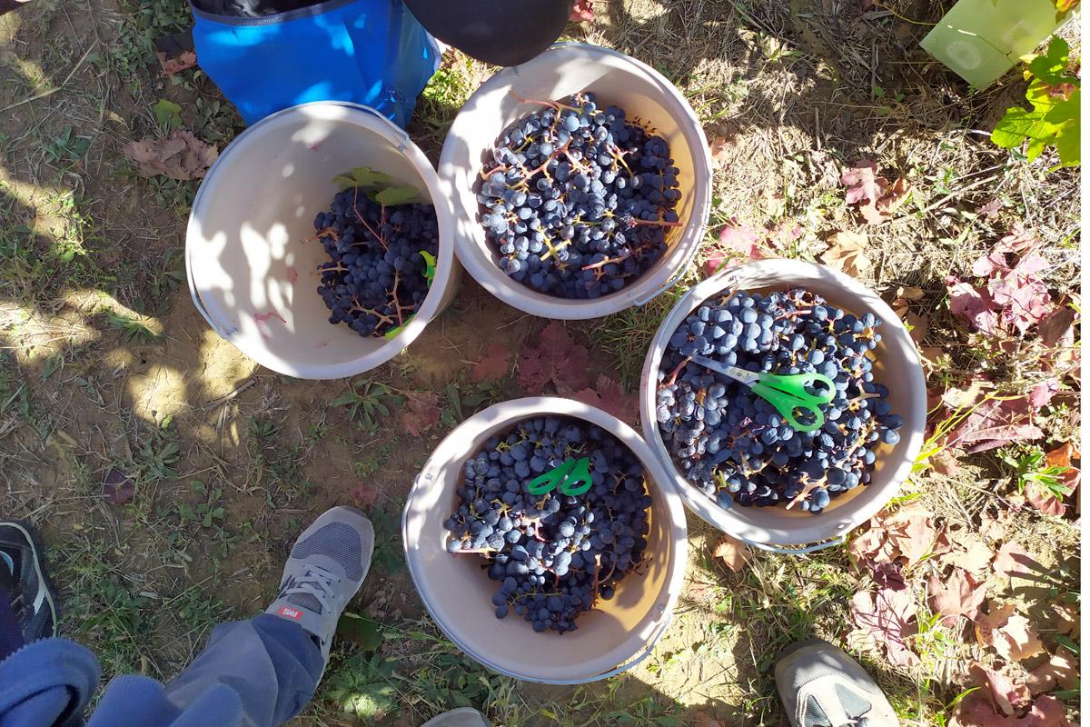 secchi pieni di uva
