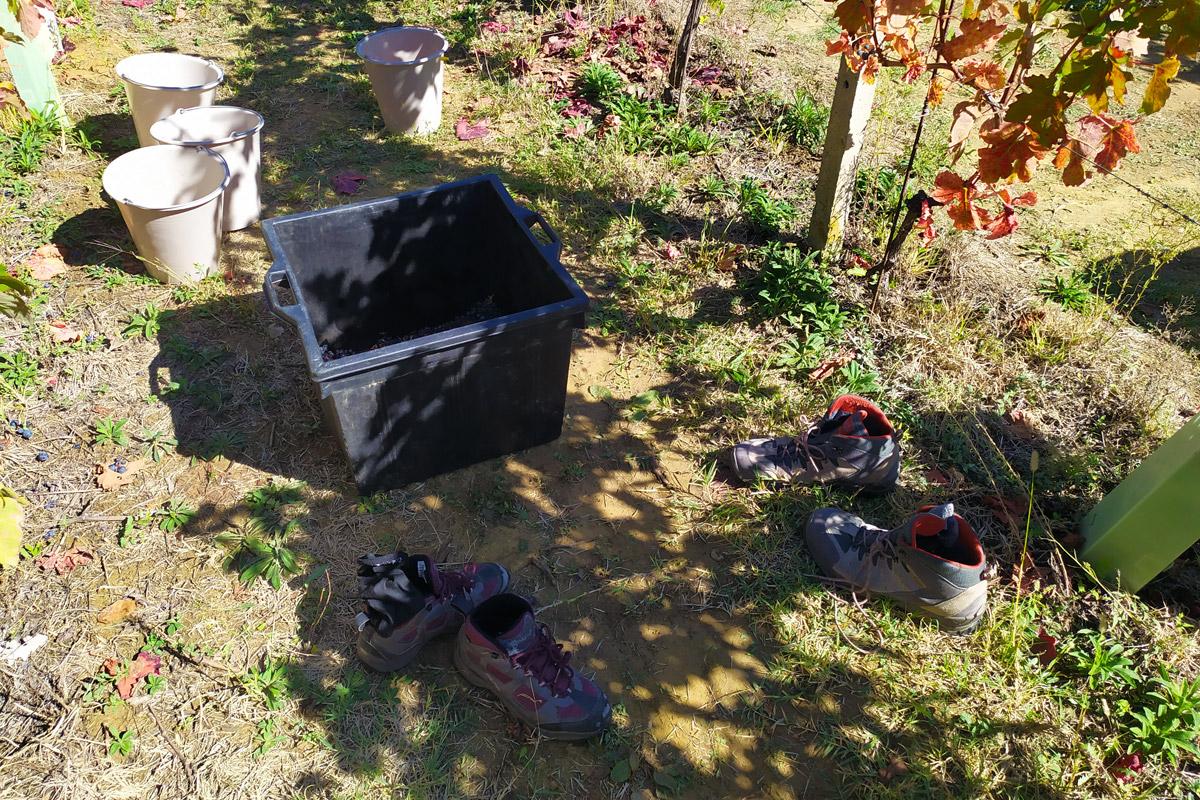 tino nei filari di uva, scarpe e calze